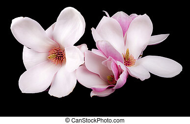 Blooming magnolia  flowers isolated on black background