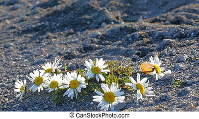 Large Arctic daisies in polar desert of Novaya Zemlya...