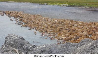 Rookery Atlantic walruses on Vaygach island in Barents sea -...