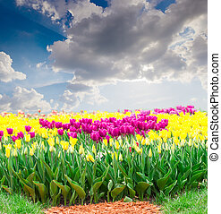 Purple and yellow tulips against the sky with clouds - Group...