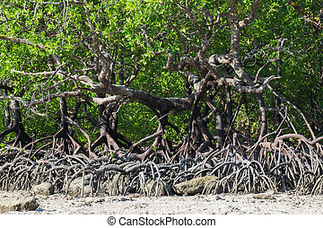 Mangrove forest in the tropical place,surin island ,thailand