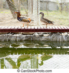 mandarin ducks walking on a wooden bridge, moving to the...
