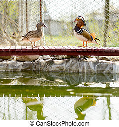 mandarin ducks standing face to face on a wooden bridge