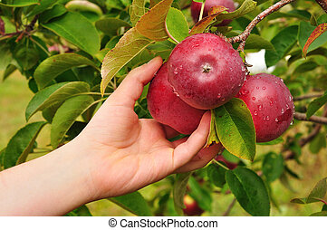Picking an Apple - Picking a Ripe Red Apples Covered with...