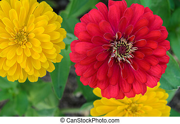 Red and Yellow Zinnia elegans flower in full bloom
