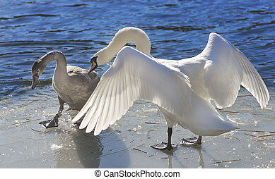 Whooper swan Cygnus Cycnus couple together on the ice of a...