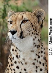 Cheetah Portrait - Portrait of a majestic cheetah wild cat