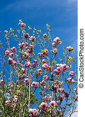 Flower of magnolia tree in springtime - Flowers of magnolia...