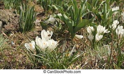 Beautiful white crocuses and bee