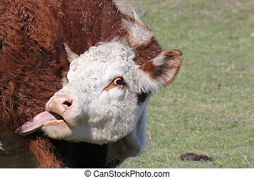 Hereford Cow-Head-Tongue - Hereford cow, face area, tongue...