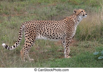 Cheetah Prowling - Beautiful wild cheetah cut on the prowl