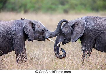 Two African elephants greeting each other with trunks and mouths touching.