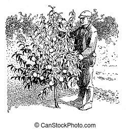Vintage illustration, man take care of a young peach tree in...
