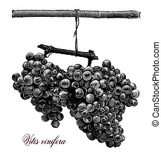 Agriculture, vintage illustration, vitis vinifera grape -...