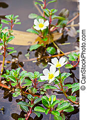Sunrose willow or Jussiaea repens Linn - Sunrose willow or...