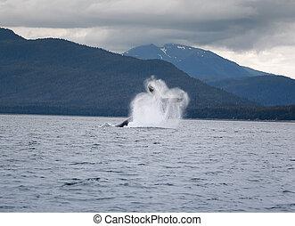 Humpback whale breaching, Alaska - Humpback whale breaching...