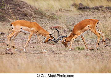 Two male impala fight in for the herd with best territory -...