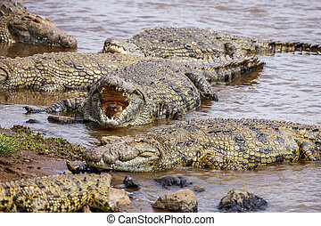 Close up of saltwater crocodiles as emerges from water with...