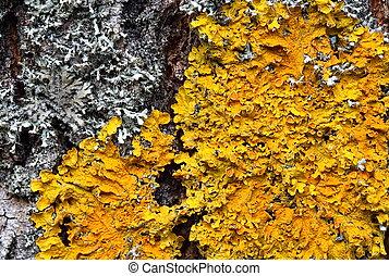 Xanthoria parietina Orange lichen on a tree trunk