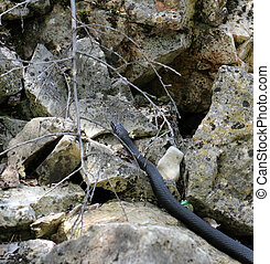 Black snake on the Island Golem grad in Lake Prespa,...