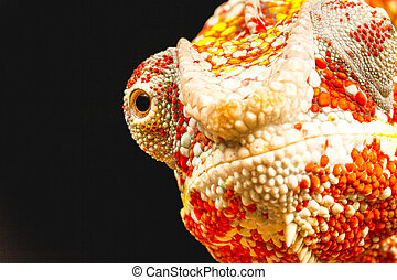 Close up of the eye of a Panther Chameleon Furcifer pardalis...