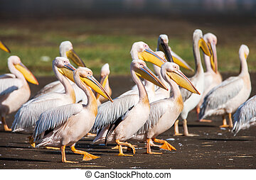 Great White Pelican Pelecanus onocrotalus resting, sleeping,...