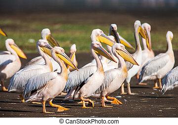 Great White Pelican (Pelecanus onocrotalus) resting,...