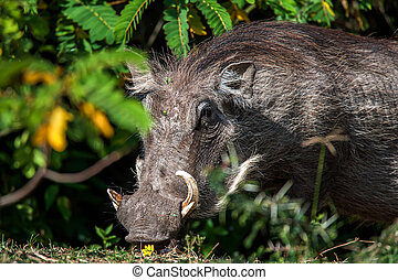 Big warthog with large tusks feeds on his knees in this close up portrait