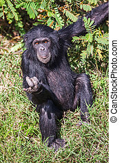 Portrait of a Common Chimpanzee in the wild, Africa. -...
