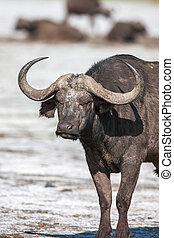 Buffalo grazing near a pond in Africa - A photographic image...