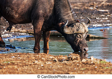Photographic image of water buffalo grazing near a pond in...