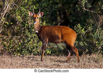 美麗, 獐鹿, 動物, 背景, 非洲
