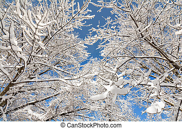Snowy Trees - A snowy winter scene looking up at tall, snow...