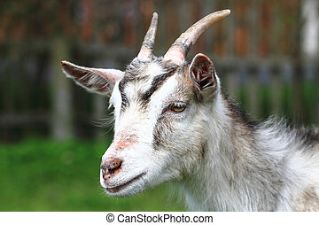 white goat head as nice portrait of farm animal