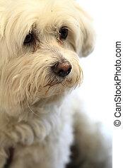 white bichon dog