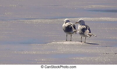 Gulls on ice in the spring