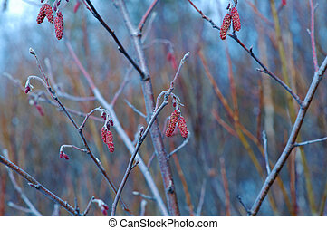 hanging catkins outdoors - Alder twigs with hanging catkins...