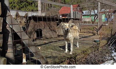 Dogs in the big cage - Dog sitting in the large cage, that...