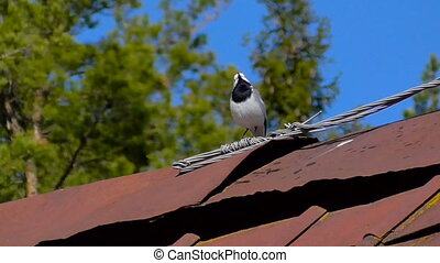 A little bird sings - Bird on the roof of the house sings a...