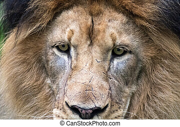 In this close-up on the Male Lions (Panthera leo) face you...