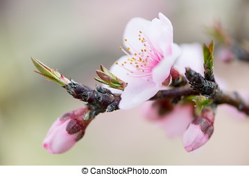 Peach Blossom detail in the month of March