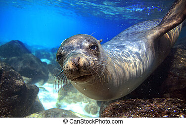 Curious sea lion underwater - Sea lion swimming underwater...