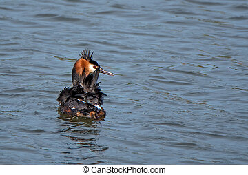 Great crested grebe Podiceps cristatus on the water