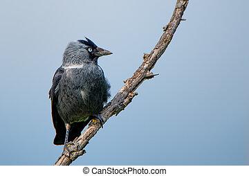Western jackdaw (Corvus monedula)