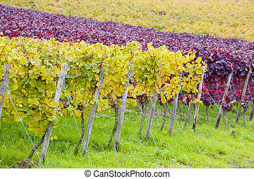 vineyards in Germany - vineyards near Johannisberg Palace,...