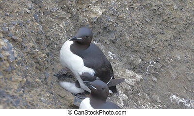 Two caring moms Brunnichs guillemots with Chicks under belly...