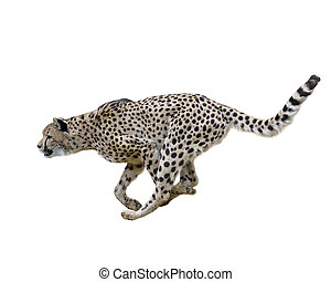 Cheetah (Acinonyx jubatus) Running - Cheetah Running...