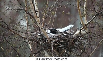 crow in the nest covered snow - crow in the nest covered...