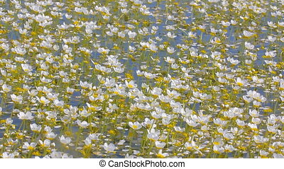 Flowering Water Crowfoot (Ranunculus aquatilis) sunny day....