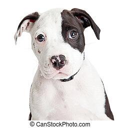 Closeup Cute Pit Bull Puppy